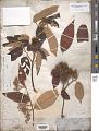 View Commersonia bartramia var. tahitensis Dorr digital asset number 1