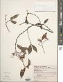 View Begonia fruiticosa (Klotzsch) A. DC. digital asset number 1