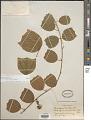View Passiflora helleri Peyr. digital asset number 1