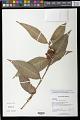 View Commelina rufipes var. glabrata (D.R. Hunt) Faden & D.R. Hunt digital asset number 0