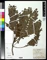 View Serianthes kanehirae Fosberg var. kanehirae digital asset number 0