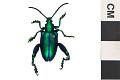 View Frog-legged Leaf Beetle digital asset number 0