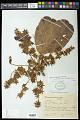 View Sterculia speciosa K. Schum. digital asset number 0