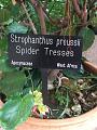 View Strophanthus preussii Engl. & Pax digital asset number 3