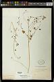 View Euphorbia ocymoidea L. digital asset number 0