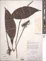 View Rhodospatha latifolia Poepp. digital asset number 1