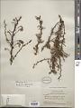 View Berberis rigidifolia Kunth digital asset number 1