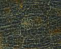 View Erythrocladia vagabunda M. Howe & Hoyt digital asset number 8