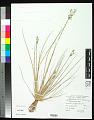 View Fimbristylis littoralis Gaudich. digital asset number 0
