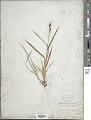 View Carex raynoldsii Dewey digital asset number 1