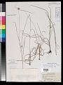 View Cyperus echinatus (L.) Alph. Wood digital asset number 0