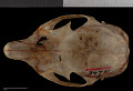 View Heliosciurus undulatus digital asset number 6