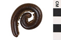 View Giant Millipede digital asset number 0