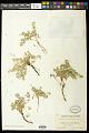 View Euphorbia albomarginata Torr. & A. Gray digital asset number 0