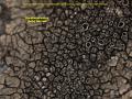 View Dimelaena oreina (Ach.) Norm. digital asset number 1
