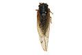 View Seventeen-year Cicada, Periodical Cicada digital asset number 3