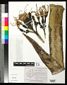 View Agave sisalana Perrine digital asset number 0