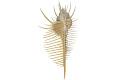 View Venus Comb Murex, Venus comb shell digital asset number 0