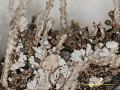 View Cladonia cristatella f. squamulosa Robbins ex A. Evans digital asset number 2
