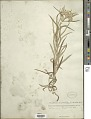 View Anaphalis margaritacea (L.) Benth. & Hook. f. digital asset number 1