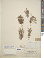 View Minuartia californica (A. Gray) Mattf. digital asset number 1