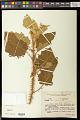 View Solanum thomasiifolium Sendtn. digital asset number 0