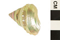 View Baird's Top Shell, Baird's Spiny Margarite digital asset number 1