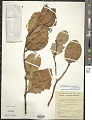 View Combretocarpus rotundatus (Miq.) Danser digital asset number 1