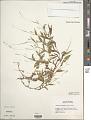 View Arthraxon hispidus (Thunb.) Makino digital asset number 1