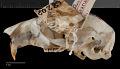 View Sciurus aureogaster nigrescens digital asset number 8