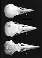 View Corvus viriosus James & Olson, 1991 digital asset number 2