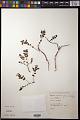 View Euphorbia amplexicaulis Hook. f. digital asset number 0
