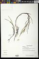 View Heteranthera dubia (Jacq.) MacMill. digital asset number 0