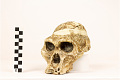 View STS 5, Fossil Hominid digital asset number 6