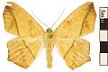 View Large Maple Spanworm Moth digital asset number 0