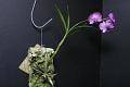 View Dendrobium bigibbum Lindl. digital asset number 0