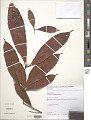 View Lacunaria crenata (Tul.) A.C. Sm. digital asset number 1
