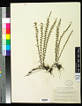 View Myriopteris aurea (Poir.) Grusz & Windham digital asset number 0
