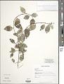 View Chiococca alba (L.) Hitchc. digital asset number 1