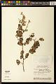 View Securidaca rivinifolia var. parvifolia A.W. Benn. digital asset number 0