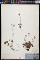 View Micranthes nudicaulis (D. Don) Gornall & H. Ohba digital asset number 0