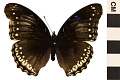 View Great Eggfly, Common Eggfly digital asset number 0