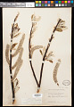 View Salix alaxensis var. longistylis (Rydb.) C.K. Schneid. digital asset number 0