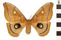 View Polyphemus Moth digital asset number 0