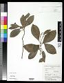 View Psychotria mariana Bartl. ex DC. digital asset number 0