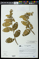 View Waltheria flavovirens J.G. Saunders digital asset number 0