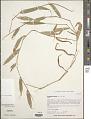 View Stenotaphrum micranthum (Desv.) C.E. Hubb. digital asset number 1