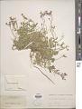 View Aubrieta deltoidea (L.) DC. digital asset number 1