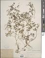 View Corydalis claviculata DC. digital asset number 1