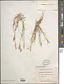 View Calamagrostis deschampsioides Trin. digital asset number 1